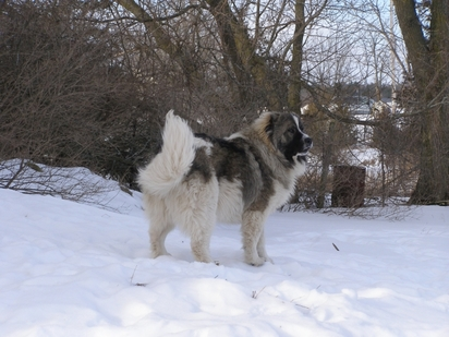 Caucasian Mountain Shepherd For Sale >> Thunderhawk Caucasian Shepherd Puppies Thunderhawk Caucasians
